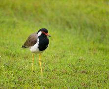 Red-wattled lapwing - Vanellus indicus lankae Stock Photos