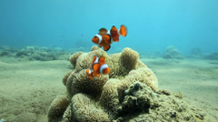 Bright orange anemonefish or clownfish sheltering in anemone underwater Stock Footage