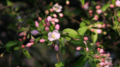 A sunlit apple twig with pink blossom buds and new leaves Stock Footage