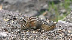 Chipmunk striped rodent eating seeds close HD Stock Footage
