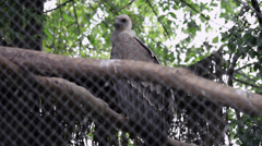Juvenile Griffon vulture in captivity, bird of prey on a tree in the cage, Zoo Stock Footage