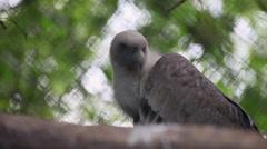 Juvenile Griffon vulture portrait,Gyps fulvus in captivity,bird of prey in cage Stock Footage