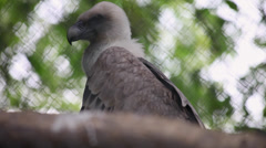 Juvenile Griffon vulture in captivity, bird of prey yawing in the cage, Zoo Stock Footage
