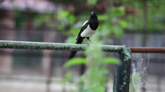 Eurasian Magpie shaking his feathers and taking off from a pipe Stock Footage