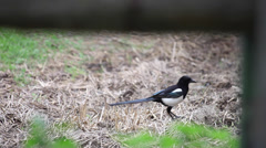 Eurasian Magpie walks and takes off from a field, black and white bird flying Stock Footage