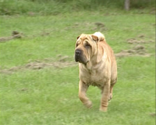 Shar Pei dogs runs across meadow.  Shar Pei is a Chinese dog breed Stock Footage