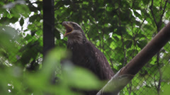Juvenile bald eagle croaking, Haliaeetus leucocephalus, bird in captivity, Zoo Stock Footage