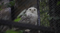 Two snowy owls, Bubo scandiacus, shy white bird hiding Stock Footage