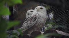 Two snowy owls, synchronized head movements, Bubo scandiacus, funny white birds Stock Footage