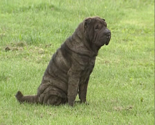 Black Shar Pei dog sits on lawn. Shar Pei is a Chinese dog breed Stock Footage