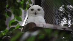 Beautiful snowy owl male looking at camera, Bubo scandiacus, bird of prey Stock Footage