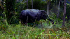Stock Video Footage of funny elephant in the jungle sprinkles ground yourself