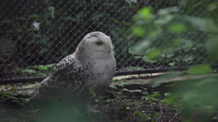 Snowy owl female on the ground, Bubo scandiacus, beautiful white birds in cage Stock Footage