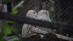 Two snowy owls, polar owls, Bubo scandiacus, beautiful white birds, wire fence Stock Footage