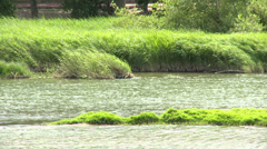Wavy grass on the shore of the river, windy conditions Stock Footage