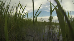 Spawning carp in the reeds Stock Footage