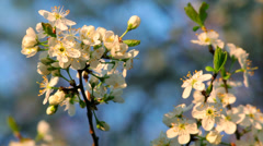 A sunlit cherry blossom twig with white petals in the evening light Stock Footage