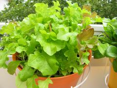 Stock Photo of Lettuce in hanging basket on balcony