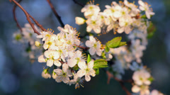 Sunlit cherry blossom with white petals in the evening light Stock Footage