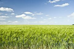 Summer Colorful Wheat Field - stock photo