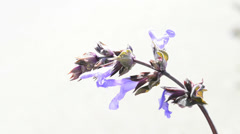 Wild sage blooming Stock Footage