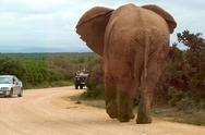Stock Photo of Elephant n Addo Park