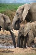 Elephants in Addo Park Stock Photos