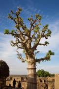 Baobab in the Dogon Land Stock Photos