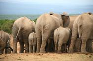 Stock Photo of Elephants in Addo Park