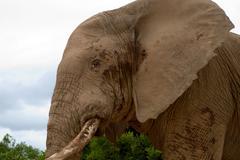 Elephant in Addo Park Stock Photos