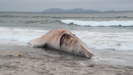 Stock Video Footage of A dead Fin Whale that has washed up onshore