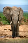 Elephant in Addo Park - stock photo