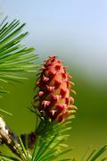 Violet larch cones - stock photo