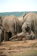 Elephants in Addo Park - stock photo