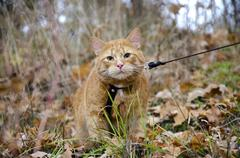 red cat on a leash sits at the autumn grass - stock photo