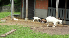 Stock Video Footage of Goats on a farm of the Fond'roy park.