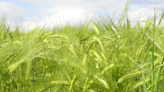 Barley, closeup  of the unripe cereal Stock Footage
