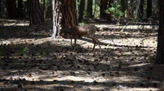 Deer in the woods Stock Footage