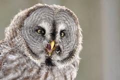 Great Grey Owl isolated portrait Stock Photos