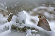 Common Kestrel in winter Stock Photos