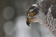 Northern Goshawk closeup portrait - stock photo