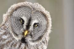 Great Grey Owl isolated portrait - stock photo