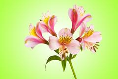 Colourful lilies against gradient background Stock Photos