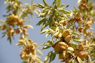 Stock Photo of almond tree at the harvest time. california, usa
