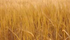 Wheat Grain Crop Growing in Field Stock Footage