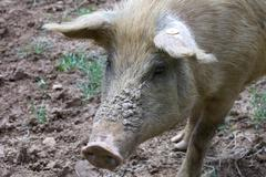 close up of a pig - stock photo