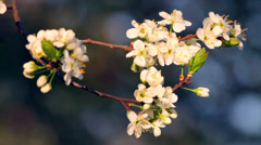 A sunlit cherry twig of white blossom trusses with yellow stamens - stock footage
