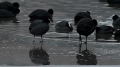 Agressive Coot Pecks other Coot Minding its Business - 29,97FPS NTSC - stock footage