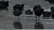 Stock Video Footage of Agressive Coot Pecks other Coot Minding its Business - 29,97FPS NTSC