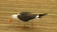 Black-headed gull Stock Footage